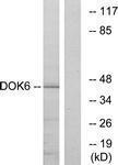 GTX87172 - DOK6 / DOK5L