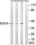 GTX87192 - SGCA (Alpha-sarcoglycan)