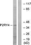 GTX87199 - P2RY4 / P2Y4
