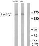 GTX87201 - SMARCC2 / BAF170