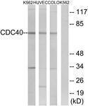 GTX87214 - CDC40 / PRP17
