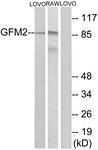 GTX87245 - GFM2 / EFG2