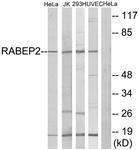 GTX87268 - RABEP2