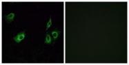 GTX87276 - Olfactory receptor 4K3