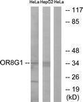 GTX87287 - Olfactory receptor 8G1