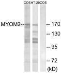 GTX87299 - Myomesin-2