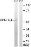 GTX87325 - Ubiquilin-4