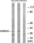 GTX87330 - Olfactory receptor 8G5