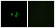 GTX87331 - Olfactory receptor 10H4