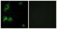 GTX87333 - Laminin alpha 1