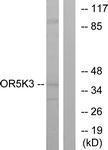GTX87339 - Olfactory receptor 5K3
