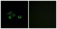 GTX87354 - Olfactory receptor 2Z1