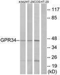 GTX87375 - GPR34