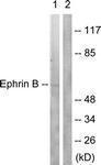 GTX87381 - Ephrin-B1
