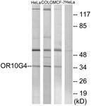GTX87420 - Olfactory receptor 10G4
