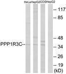 GTX87429 - PPP1R3C / PTG