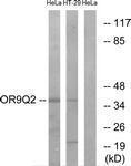 GTX87438 - Olfactory receptor 9Q2