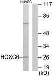 GTX87445 - HOXC6 / HOX3C