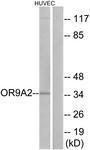 GTX87457 - Olfactory receptor 9A2