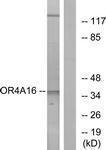 GTX87460 - Olfactory receptor 4A16