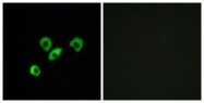 GTX87465 - Olfactory receptor 10Z1