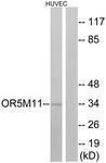 GTX87486 - Olfactory receptor 5M11