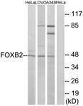 GTX87487 - FOXB2