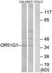GTX87507 - Olfactory receptor 51G1