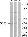GTX87513 - Olfactory receptor 5F1