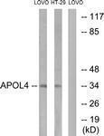 GTX87523 - Apolipoprotein L4 (Apo L4)