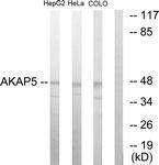 GTX87532 - AKAP5