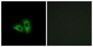 GTX87537 - Olfactory receptor 10X1