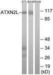 GTX87539 - Ataxin-2-like protein