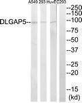 GTX87559 - DLGAP5 / DLG7