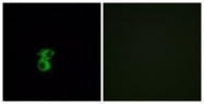 GTX87560 - Olfactory receptor 6B2