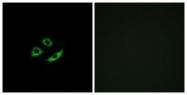 GTX87586 - Olfactory receptor 4C12