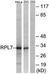 GTX87592 - RPL7