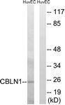 GTX87593 - Cerebellin-1