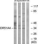 GTX87599 - Olfactory receptor 51A4