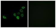 GTX87603 - Olfactory receptor 51S1