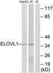 GTX87606 - ELOVL1