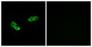 GTX87616 - Olfactory receptor 56A3