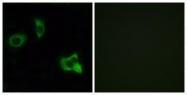 GTX87631 - Olfactory receptor 8D1