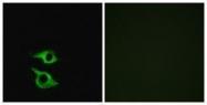 GTX87635 - Olfactory receptor 5AP2