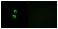 GTX87652 - Arylsulfatase D