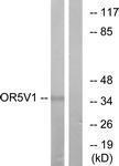 GTX87653 - Olfactory receptor 5V1
