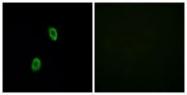 GTX87656 - Olfactory receptor 1D2