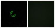 GTX87658 - Olfactory receptor 2K2