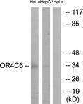 GTX87659 - Olfactory receptor 4C6
