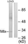 GTX87667 - Max-like protein X